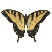 jbruce butterfly  papilio turnus  top view